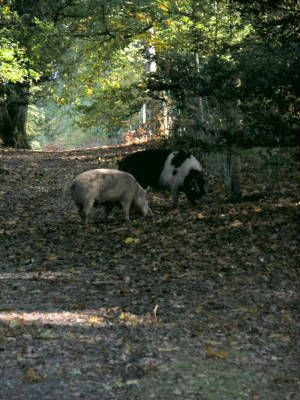 appleslade-pigs.jpg